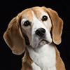 Dart Beagle