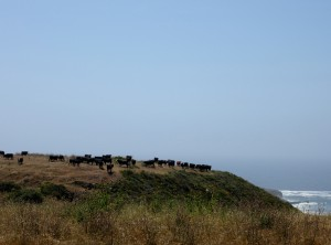 Cows on a bluff over-looking the ocean.  Seriously.